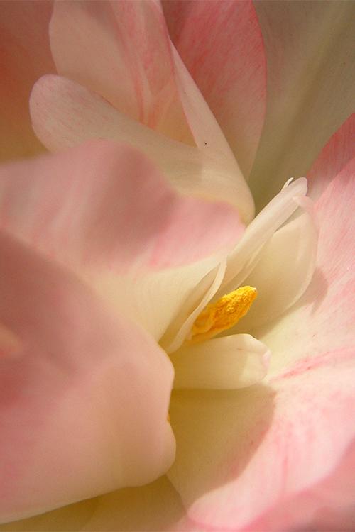 Sous les pétales de la tulipe