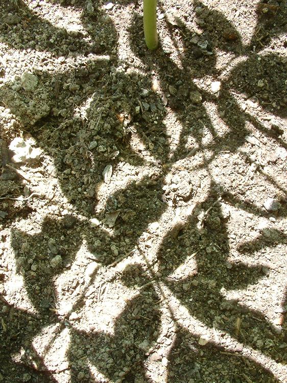 Paeonia's ombre
