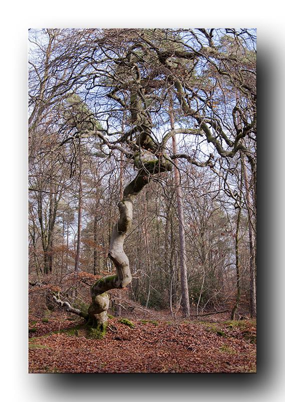 L'arbre tortillard (1)