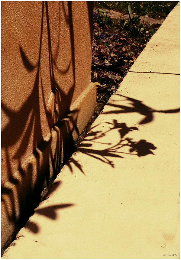 L'ombre du laurier rose