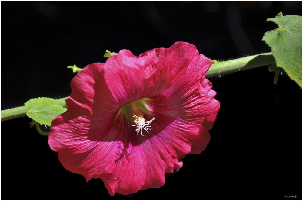 La rose est belle et le temps la flétrit