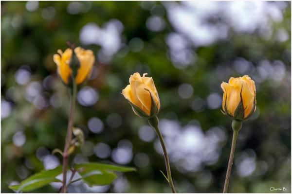 Les 3 roses ..... jaunes