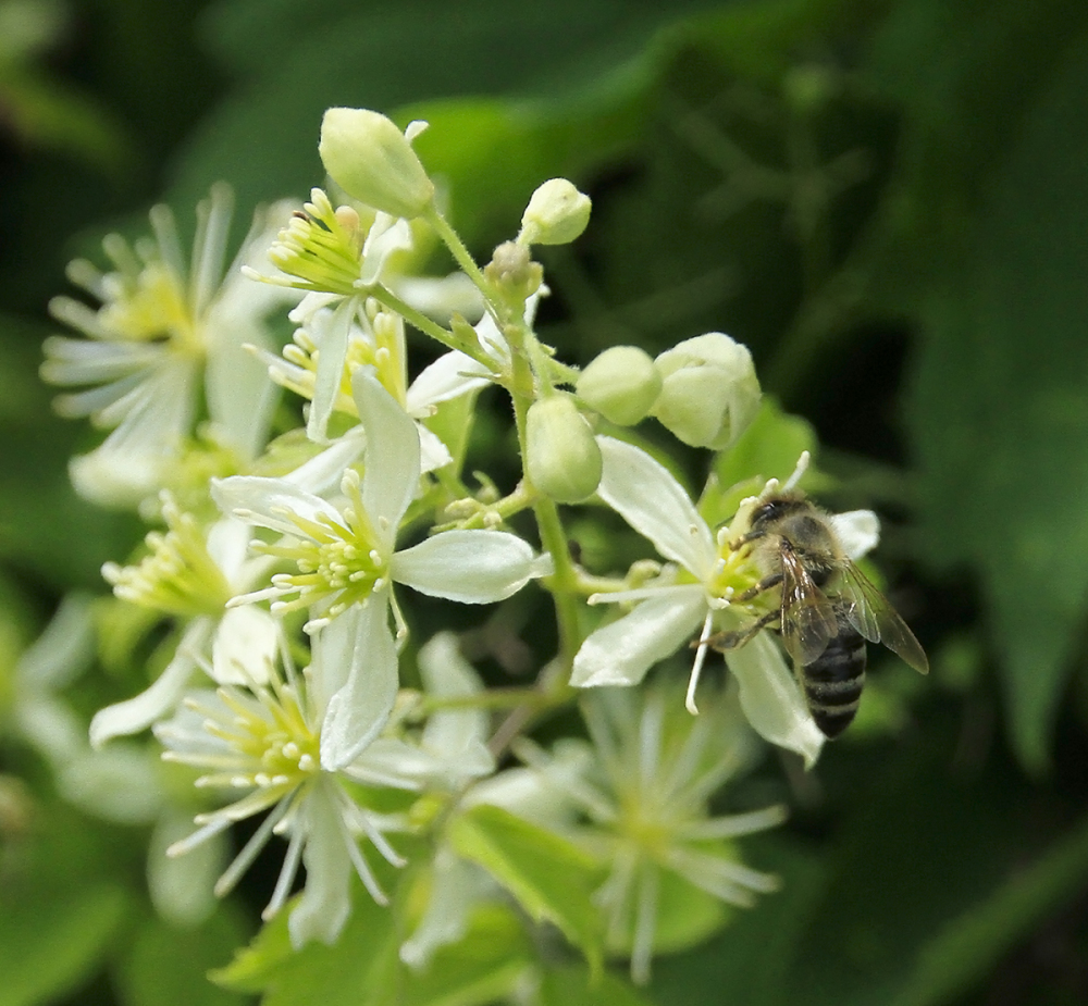 une abeille occupée