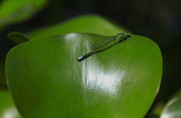 libellule au jardin d'eau