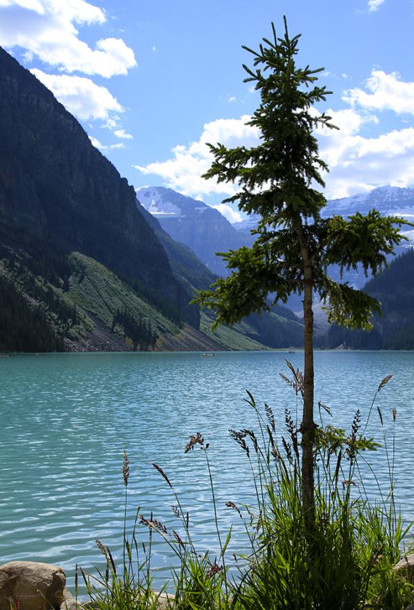 un arbre au lac Louise
