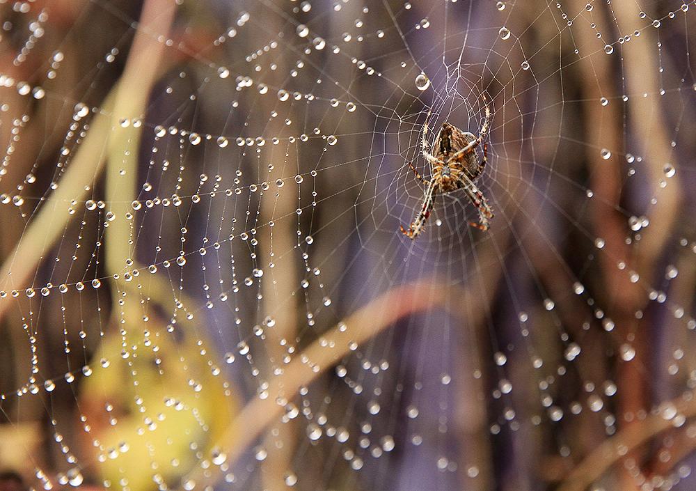 araignée au jardin