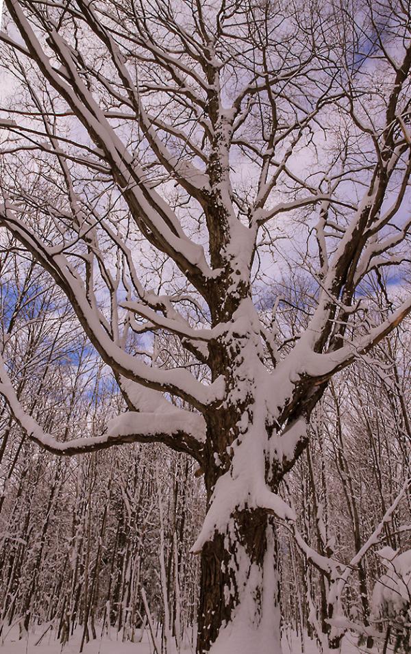 arbre nappé de blanc