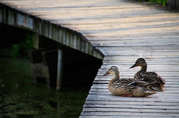 deux canards en pause