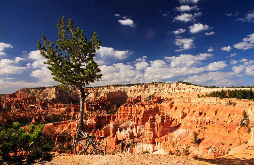dancing tree in Bryce Canyon