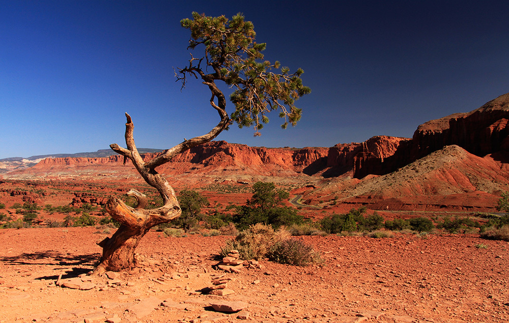 lonely tree in Capitol Reef