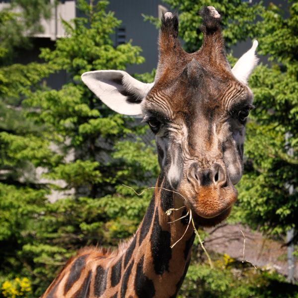 girafe au Zoo de Granby
