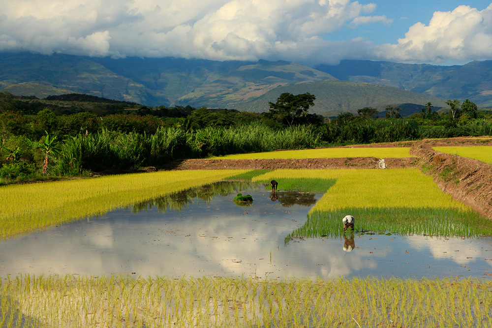 Workers in a rice field in Peru
