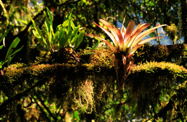 Bromelia on the trail to Machu Picchu Mountain