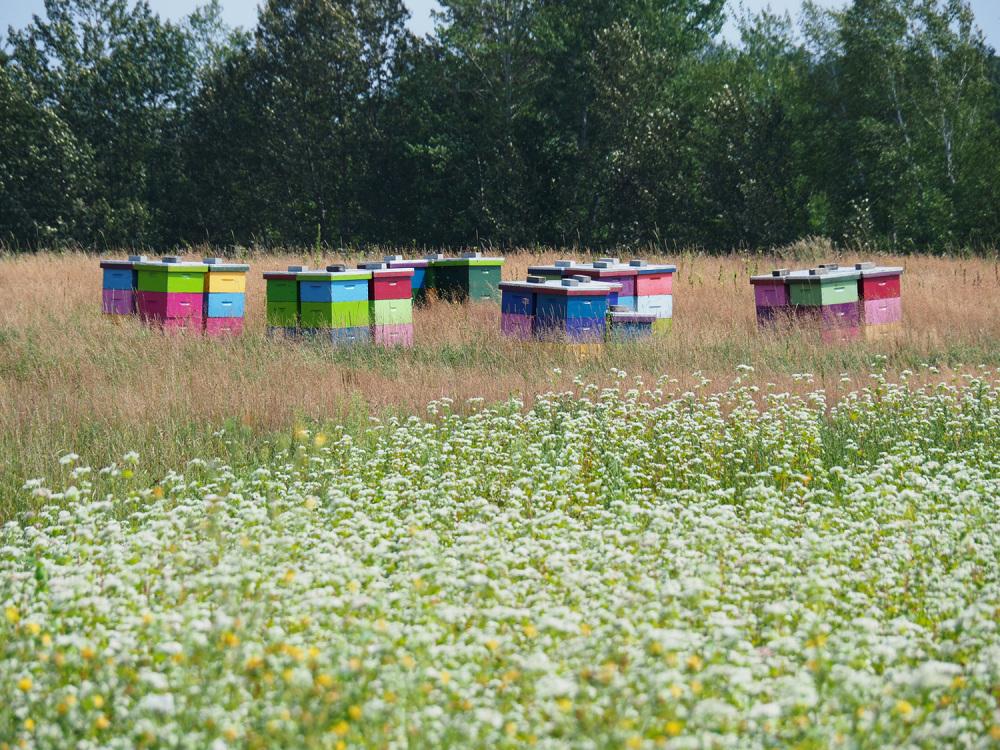 Ruches colorées dans un champ de sarrasin