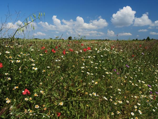 Champ fleuri près de Lespignan