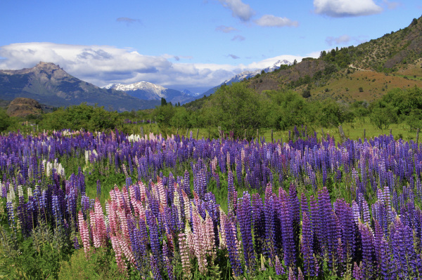 Lupines in a valley