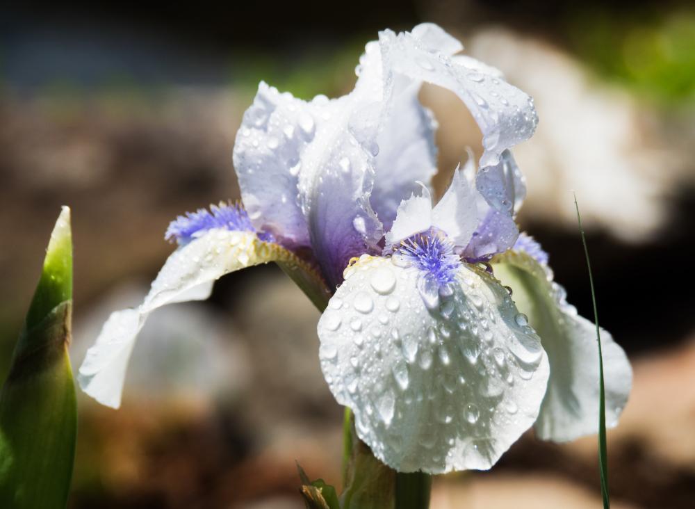 Iris après la pluie