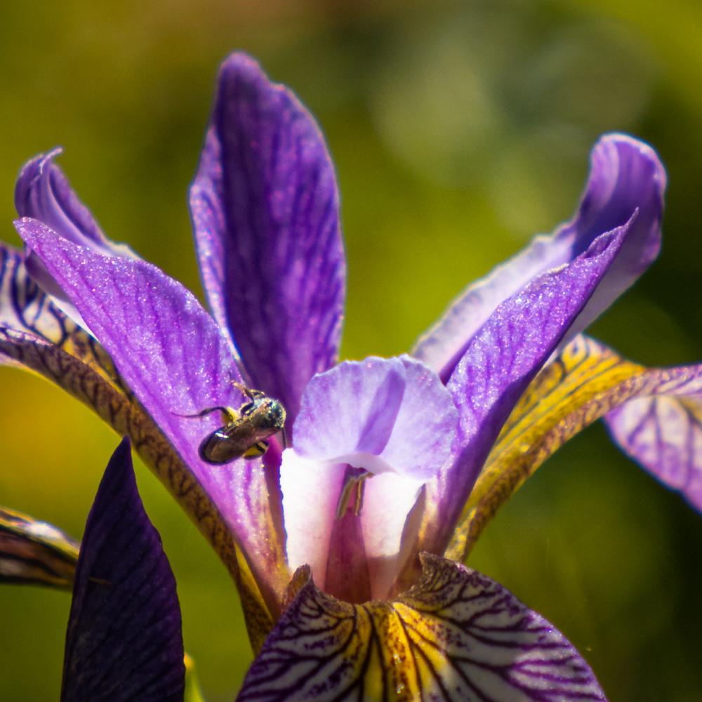 Une abeille attirée par l'iris