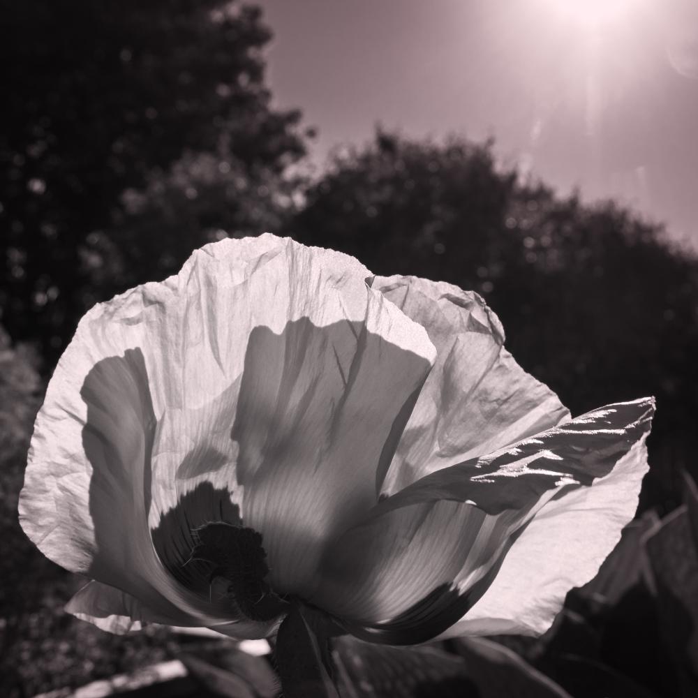 Pavot en noir et blanc