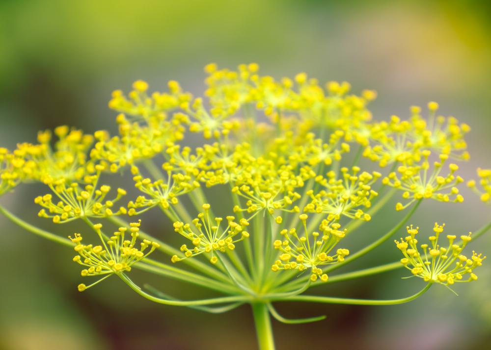 Fleurs d'aneth