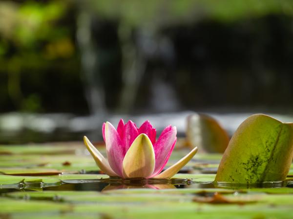 Nymphéa rose au jardin d'eau