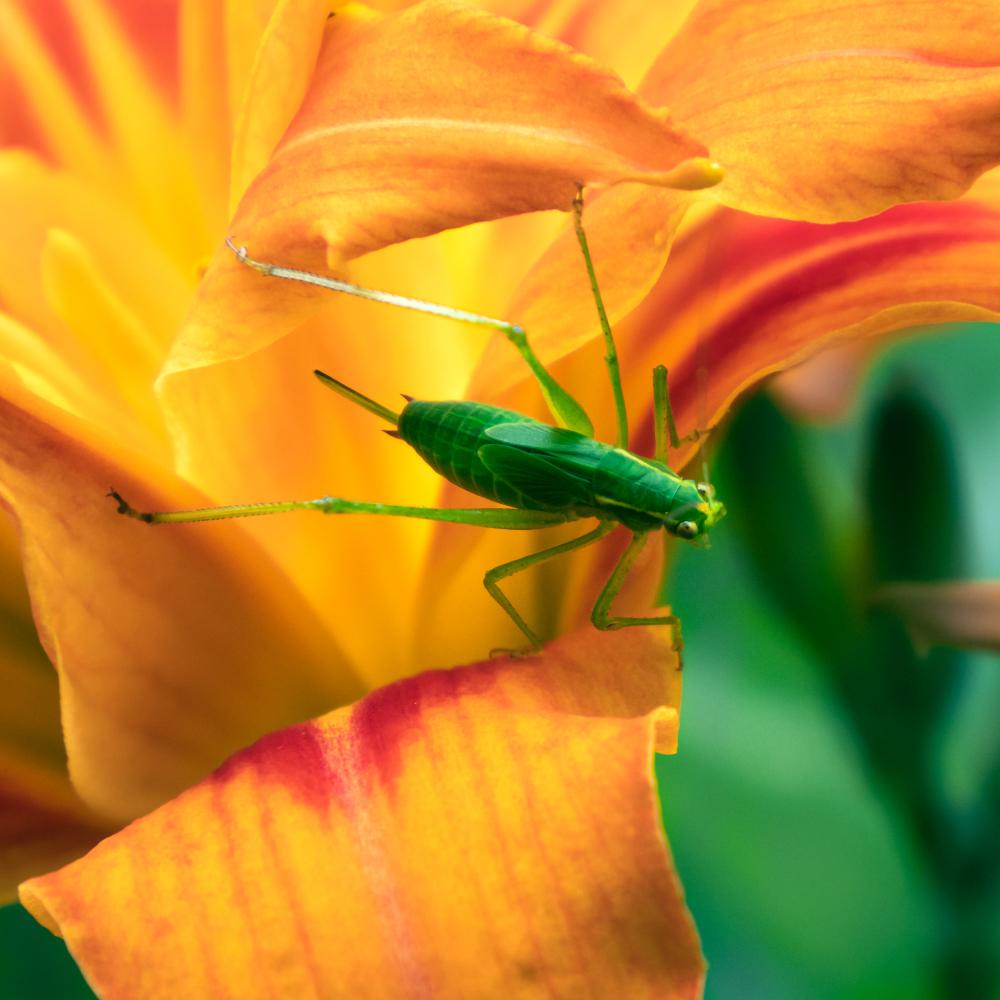 Un insecte vert sur fond orange