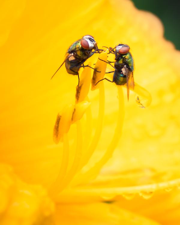 Rencontre de mouches