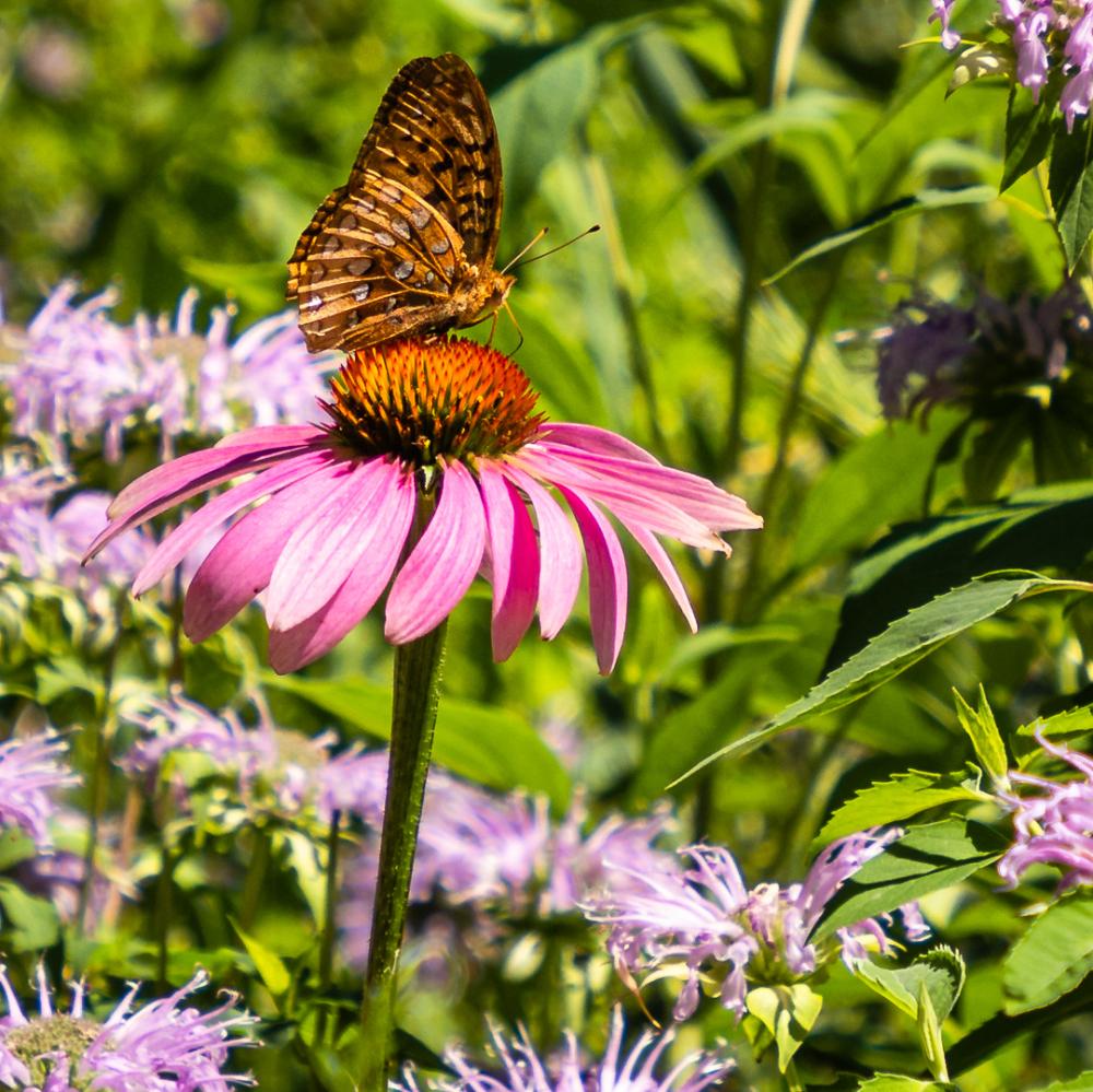 Papillon sur échinacée