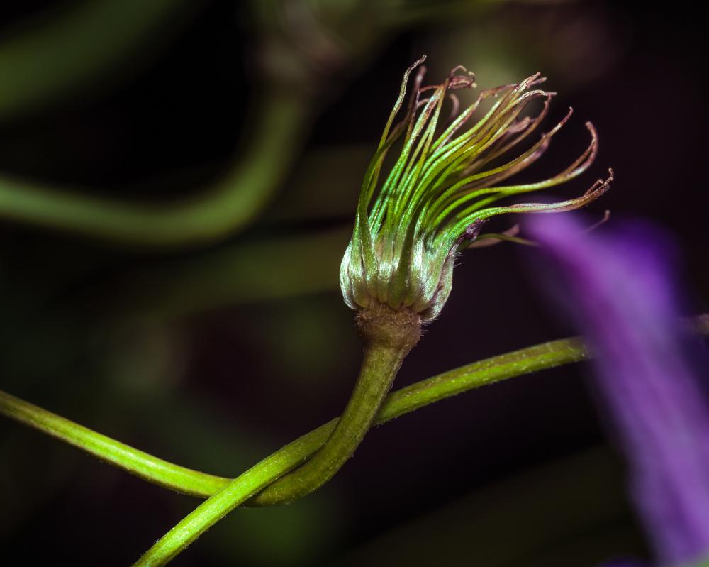 Une fleur fanée de clématite.