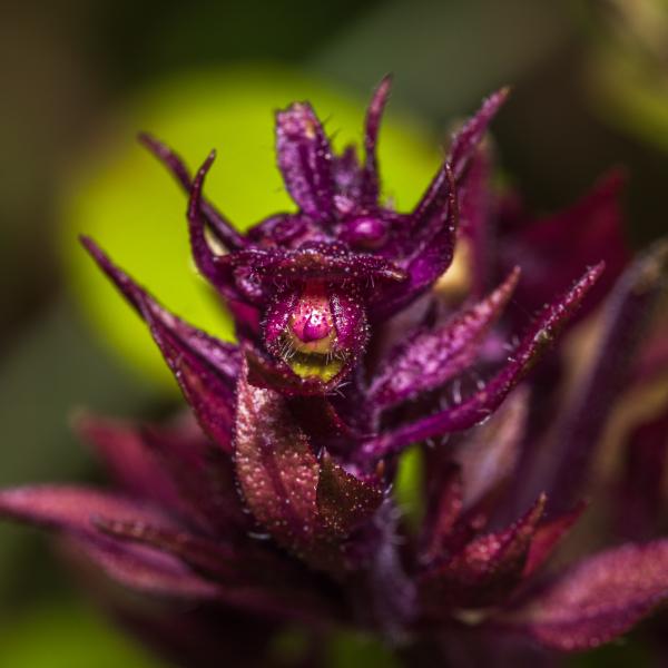 Fleur de basilic thaïlandais