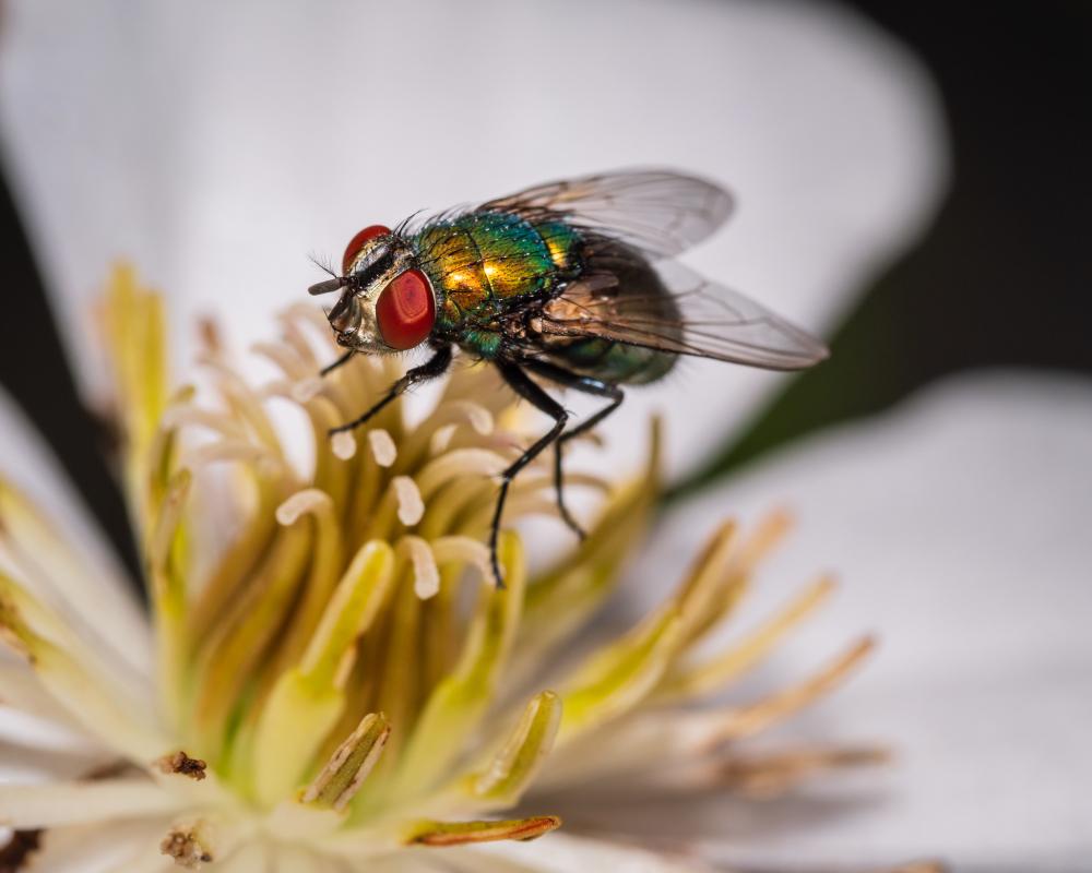 Une mouche dansant sur une fleur de clématite