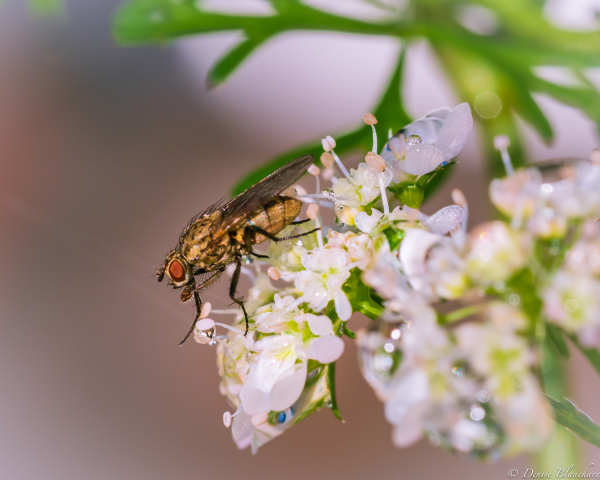 Une mouche sur des fleurs de coriandre