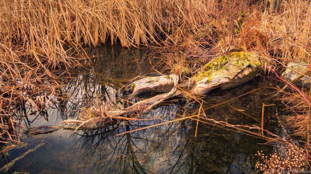 Bois mort dans le marais
