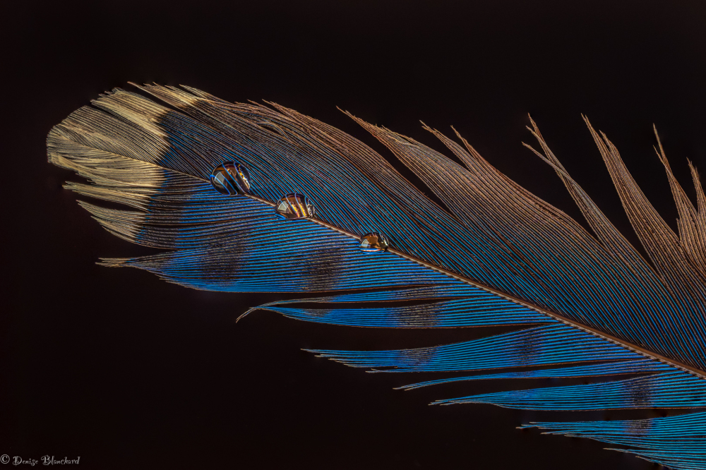 Blue feather with water drops