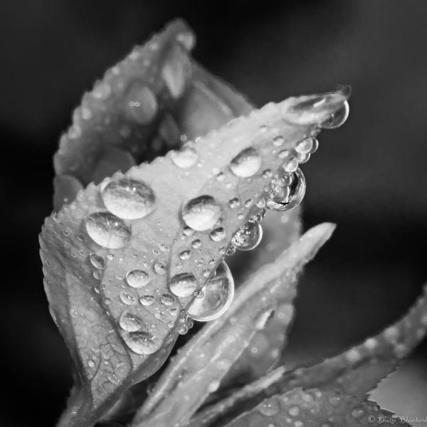 Perles de pluie sur une feuille de pommetier
