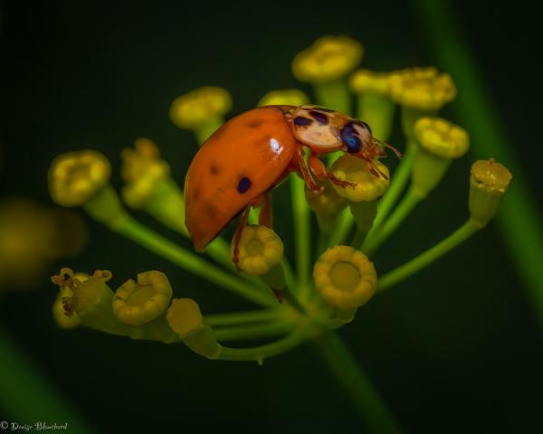 Coccinelle festoyant sur fleur d'aneth