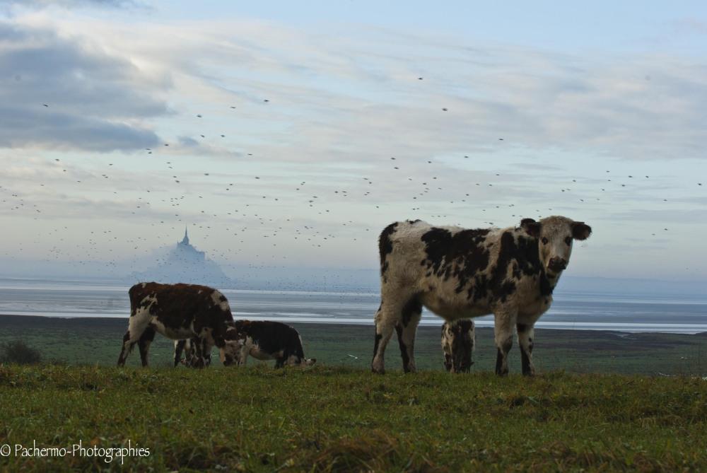 Vaches en Baie