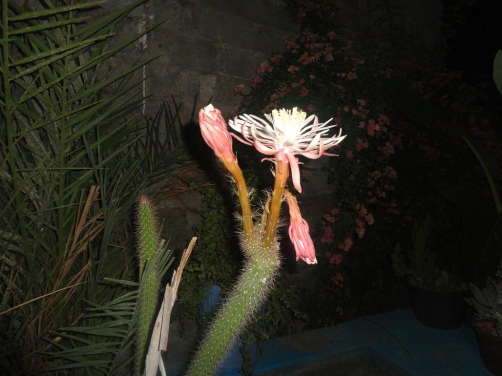 گل میدی