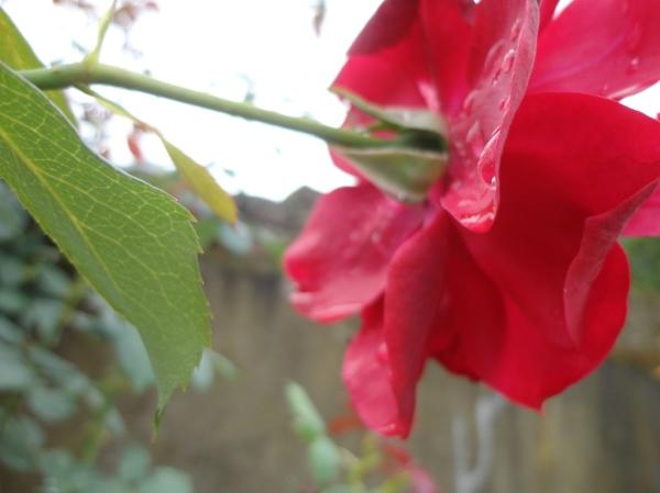 گل و شبنم