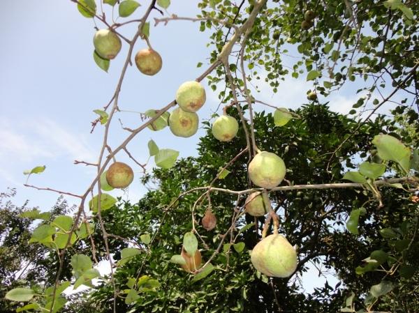 شاه میوه ها