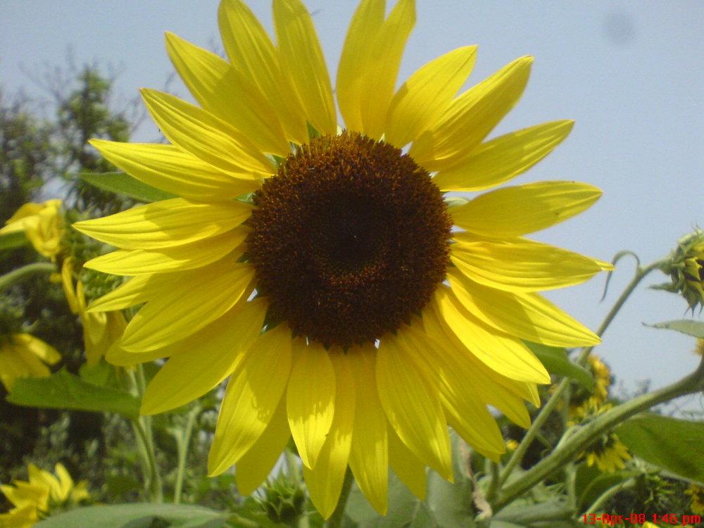گل آفتاب گردون