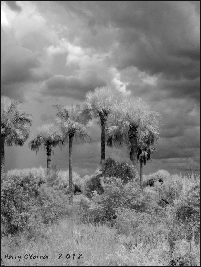 infrared shot of palms and approaching storm