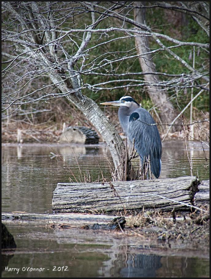 Heron at Lake Pine