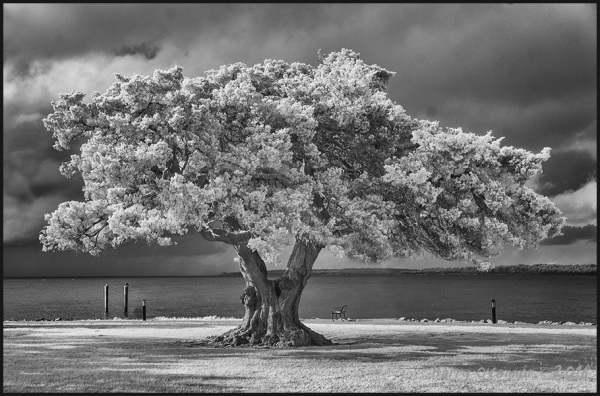 Seaside tree