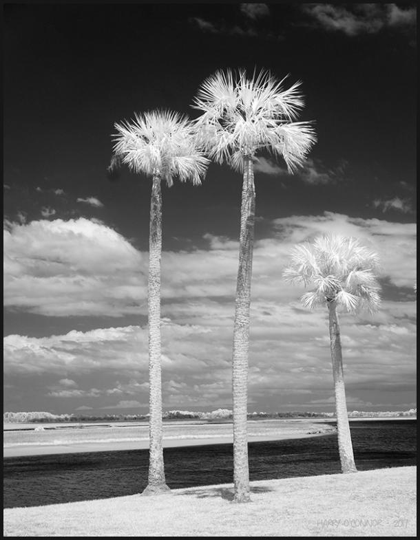 3 Palms along the intercoastal waterway