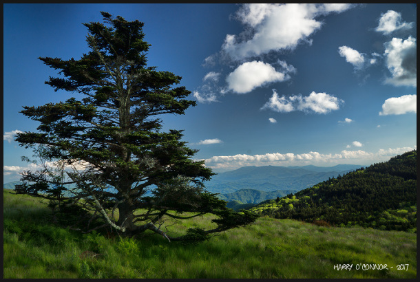Roan Mountain vista with pine