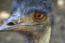 Shy emu