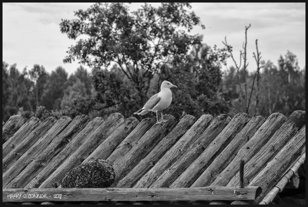 Seagull on a log roof