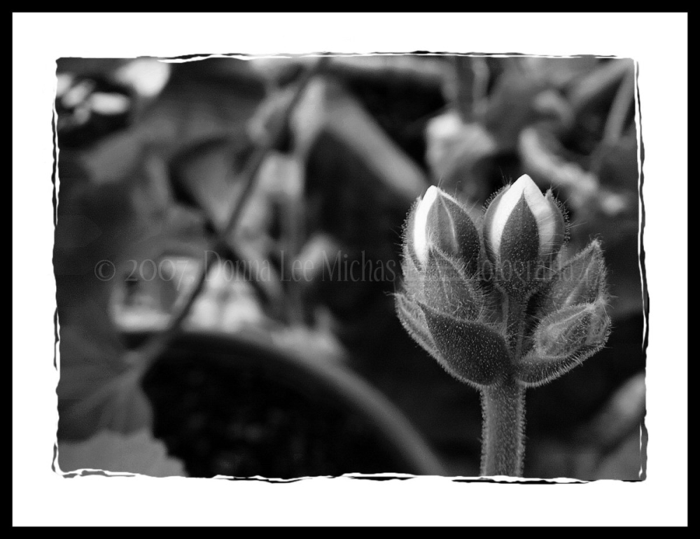 Black & white macro of flower bud.