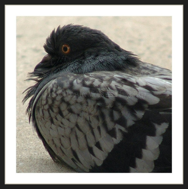Close-up of pigeon at Waterside Plaza, NYC.